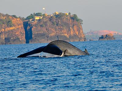 Sri Lanka Baleine