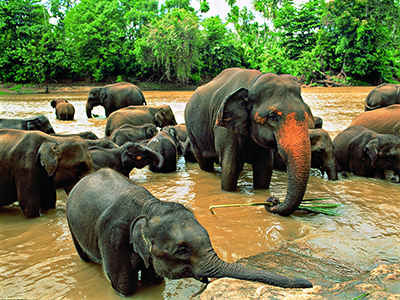 Sri Lanka Éléphants